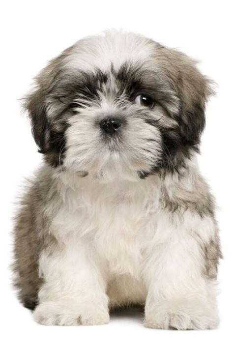 Shih Tzu Puppy 9 Weeks Old Sitting In Front Of White Background