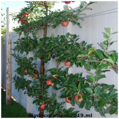 Spalierbaume Sind Der Prozess Des Trainings Von Baumen Strauchern