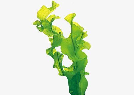 kelp de la mare slimming)