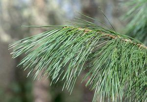 Sugar Pine Tree Facts Identification Distribution Pictures Coniferous Forest Pine Leaf Identifying Trees Conifer Trees