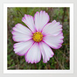 Winter Cosmos Flower In Pink 7 Art Print Flower Art Cosmos Flowers Framed Art Prints