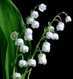 Image result for flowers meaning innocence