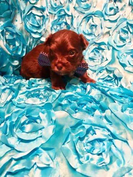 Available Yorkie Puppies Cute Teacup Puppies Yorkie Puppy Yorkie