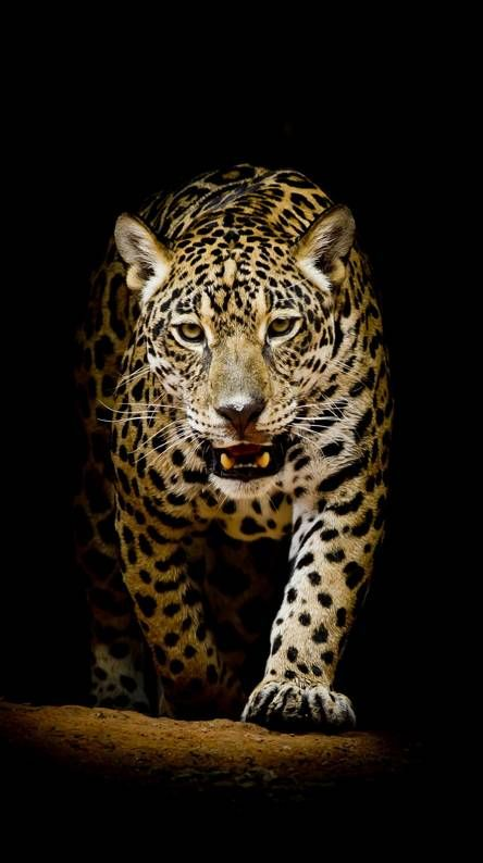 155 Really Beautiful Backgrounds For Your Iphone Backgrounds Cool Part 7 Animal Wallpaper Jaguar Wallpaper Live Wallpaper Iphone