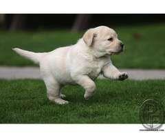 Labrador Puppies Available For You In Mumbai Maharashtra India
