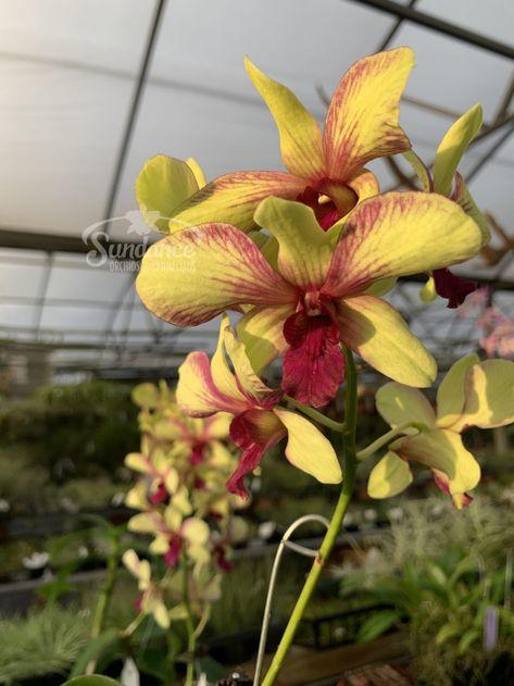 Orchid seedling Dendrobium Antenatum Lorrie mortimer live plant