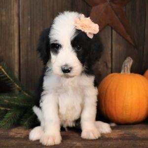 Adelaide Sheepadoodle Puppy 619905 Puppyspot Sheepadoodle Sheepadoodle Puppy Puppy Kisses