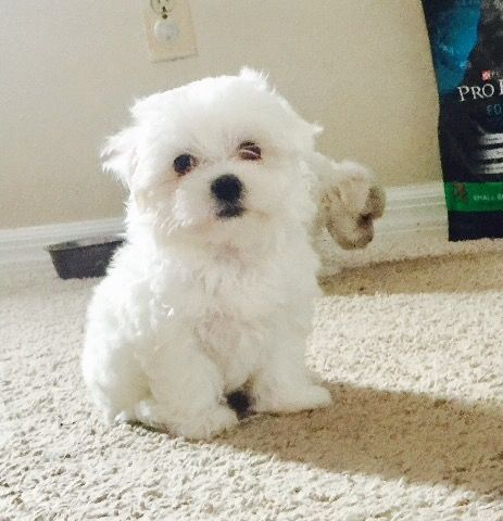 Maltese Puppy For Sale In Orlando Fl Adn 50386 On Puppyfinder