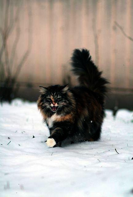 Incredible Beautiful Cats For Sale In Pakistan Norwegian