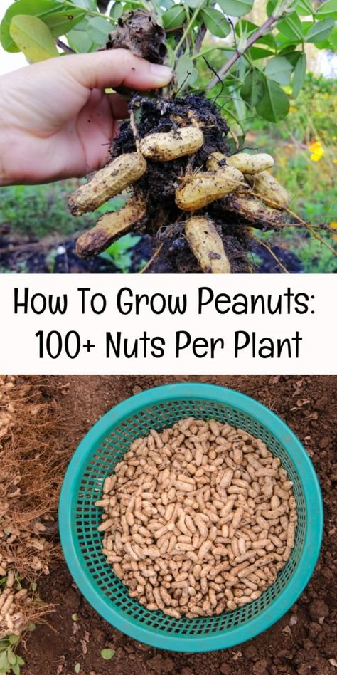 Plant some peanuts and yield 100+ new nuts. Growing Gardens, Farm Gardens, Gardening For Dummies, Gardening Tips, Growing Peanuts, Greenhouse House, Vegetable Garden Tips, Worm Farm, Living Off The Land