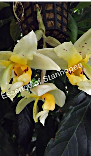 Stanhopea Impressa Native To A Few Selective Areas Of Western Slopes Of The Andes Of Ecuador And In A Small Area Of Southern Colo Orchids Plants Orchid Flower
