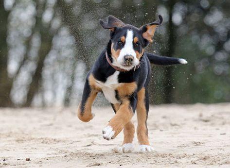 Grosser Schweizer Sennenhund Hunde Schweizer Sennenhund Grosser Schweizer Sennenhund Sennenhund