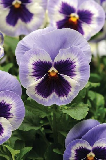 Spring Matrix Blue Wing Pansy Pansies Flowers Flower Seeds Pansies