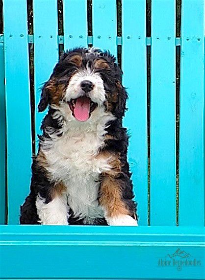 Miniature Micro Mini And Australian Bernedoodle Puppies For Sale