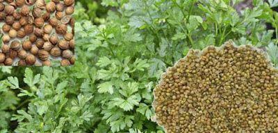 فوائد الكزبرة الجافة How To Dry Basil Herbs Food Animals
