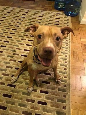 New York Ny Pit Bull Terrier Meet Lima Bean A Dog For Adoption