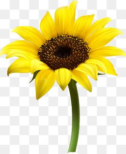 Vector Sunflower Sunflower Clipart Sunflower Yellow Png And