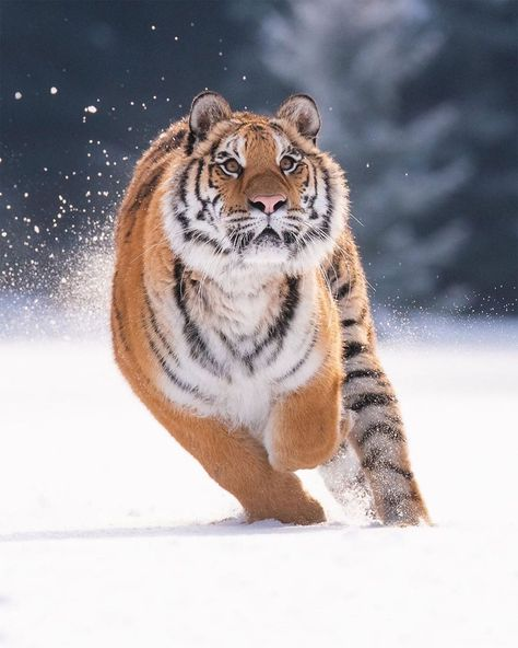 Animaux Chat Chien Tigre LionYou can find Siberian tiger and more on our website. Cute Baby Animals, Animals And Pets, Funny Animals, Wild Animals Pictures, Animal Pictures, Squirrel Pictures, Tiger Pictures, Beautiful Creatures, Animals Beautiful