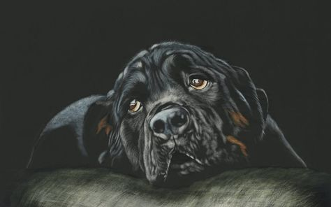 Download 4k Hd Collections Of Rottweiler Wallpaper 62 For Desktop