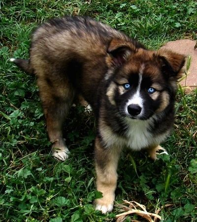 A Blue Eyed Black Tan And White Gerberian Shepsky Puppy Is