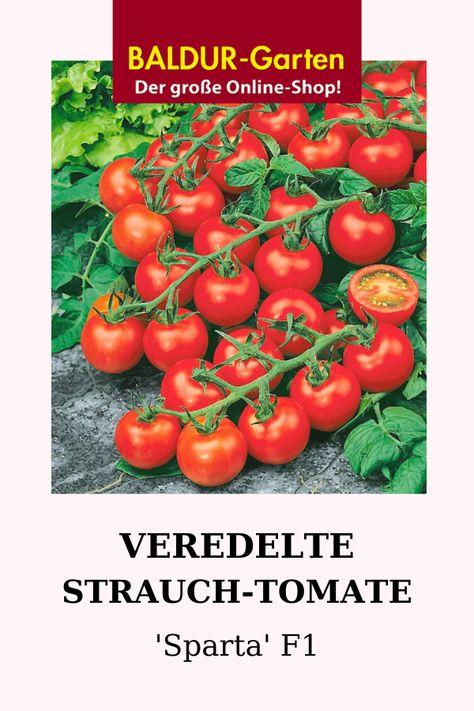 Veredelte Strauch Tomate Sparta F1 Tomaten Bei Pflanzen Tomaten Pflanzen Und Tomaten Ernten