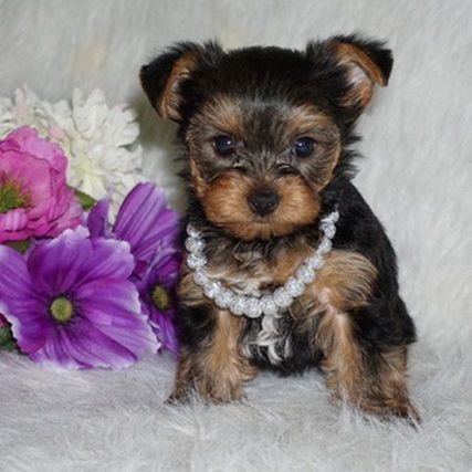 Available Puppies Tea Cup Yorkies Yorkie Puppies Tiny Yorkies Yorkshire Terri Yorki Teacup Yorkie Teacup Yorkie Puppy Yorkie Puppy