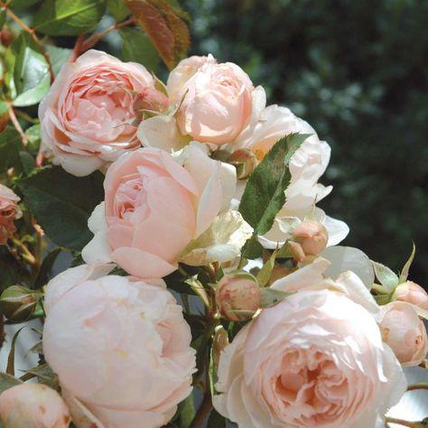 Chantal Thomass ist, wie Chantal Merieux, eine Generosa-Rose aus dem Hause Guillot. Die Besonderheit dieser Linie ist die Vereinigung des Flairs und …