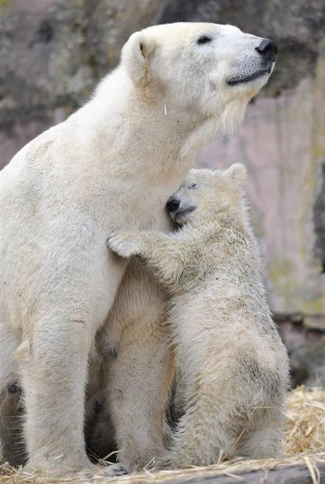 It doesn't get more adorable then a baby orangutan clinging to his mother, or a pair of splashing polar bear cubs, or a baby giraffe soaking in the view with his mama. Welcome to the Mother's Day version of this all always-enjoyable mix of fantastic animal images.