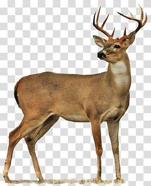 Deer Deer Illustration Transparent Background Png Clipart Deer Illustration Moose Illustration Giraffe Illustration