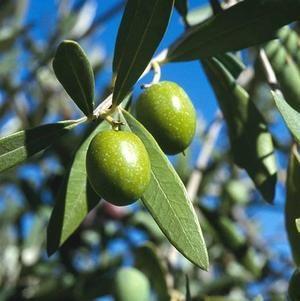 Goat S Rue Benefits Uses History Gaia Herbs Olive Olive Leaf Olive Leaf Tea