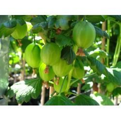 Fruit Bushes Bushes Fruit Fruit Bushes House Plants Indoor Artificial Plants