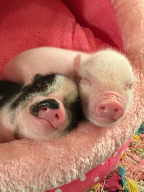 pig having piglets Cute Baby Pigs, Baby Piglets, Cute Piglets, Baby Animals Super Cute, Cute Little Animals, Cute Funny Animals, Baby Animals Pictures, Cute Animal Pictures, Teacup Pigs