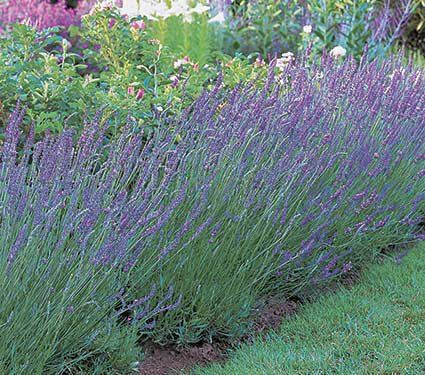 Lavender Grosso Lavandula X Intermedia Grosso With Images