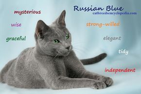 The Russian Blue Cat Russian Blue Russian Blue Cat Grey Cat Breeds