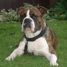 Combining Qualities Of The Boxer And The English Bulldog The