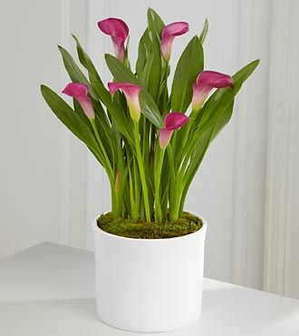 Exquisite Grace Calla Lily Plant 6 5 Royal Fleur Florist Lily Plants Plants Indoor Flowers