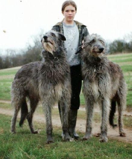 Irish Wolfhound Great Dane Mix Mix Pups White Age Wolfhound