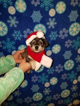 Schnauzer Miniature Puppy For Sale In Martinsburg Wv Adn 56852