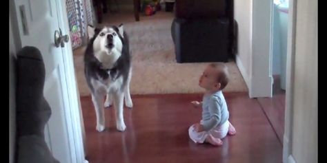 Husky Howls With Baby