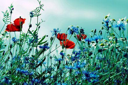 Wandbilder Mohnblumen Von Tanja Riedel Mohnblume Wie Man Blumen Malt Mohnblumen Bilder