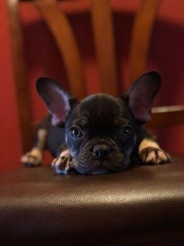 French Bulldog Puppy For Sale In Yuba City Ca Adn 60266 On