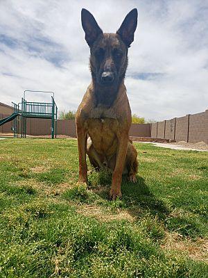 Mesa Az Belgian Malinois Meet Argos A Pet For Adoption