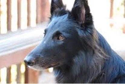 About That Premature Graying Belgian Shepherd Shepherd Dog