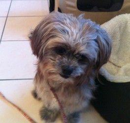 Adopt Willow On Petfinder Shih Tzu Dog Dogs Puppies