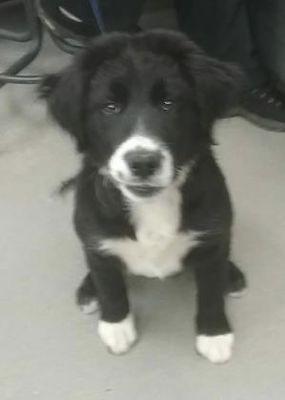 Chester Springs Pa Border Collie Meet Chopper A Dog For Adoption Kitten Adoption Dog Adoption Pets