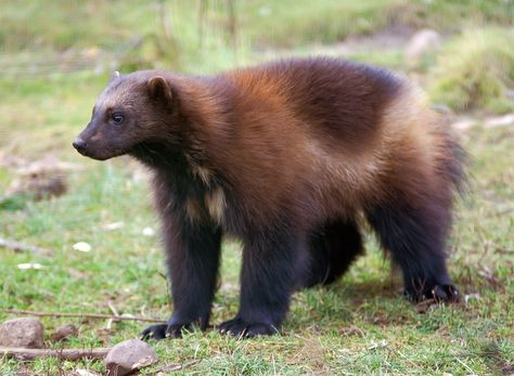 The wolverine, with its stocky, muscular build, looks like a small bear. However, it's the largest member of the weasel family. The animal can be found in artic and sub artic regions in Canada, Northern Europe, Russia and Siberia. They are solitary creatures that live about 7 to 12 years in the wild.