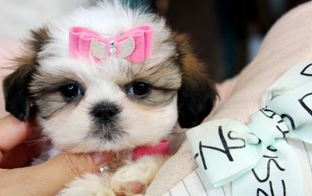 Tiny Shih Tzu Puppies For Sale We Ship Very Safe Easy Financing