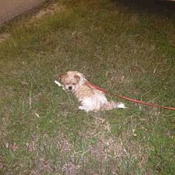 Naples Florida Rat Terrier Meet Nicky A For Adoption Https Www Adoptapet Com Pet 22920462 Naples Florida Rat Terrier Rat Terrier Mix Pets Rat Terriers