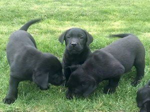 Dogs For Sale In Ireland Labrador Puppy Labrador Puppies For Sale Dogs For Sale