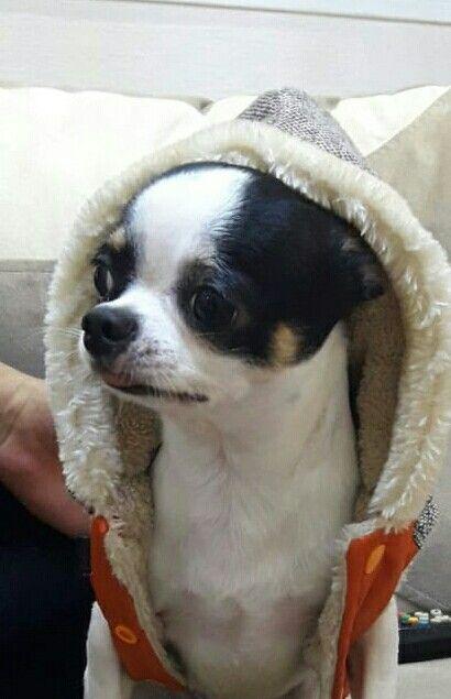 Chihuahua Kayda Chihuahua Puppies Cute Animals Chihuahua Love